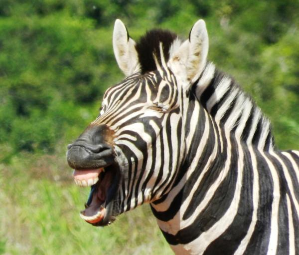 Big 7 Safaris zebras