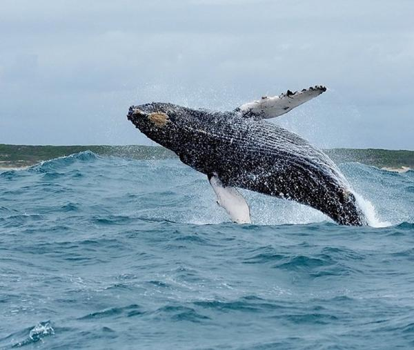 Big 7 Safaris, breaching Humpback Whale, Algoa Bay, Port Elizabeth, South Africa
