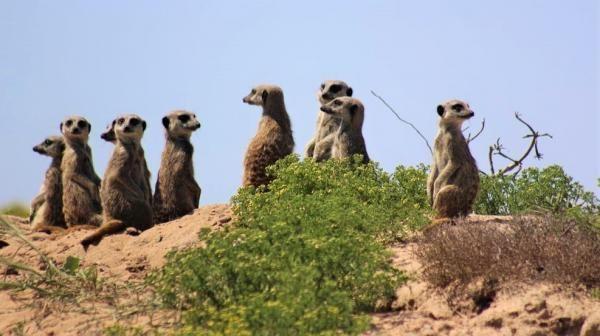 Meerkat, Addo Elephant National Park
