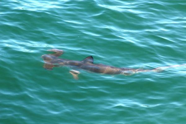 Big 7 Safaris, hammerhead Shark, Algoa Bay, Port Elizabeth, South Africa