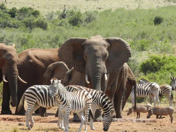 Big 7 Safaris Elephant and zebras