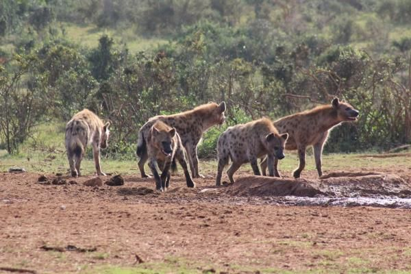 Big 7 Safaris Spotted Hyena
