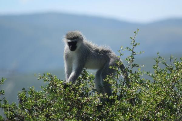 Big 7 Safaris Vervet Monkey