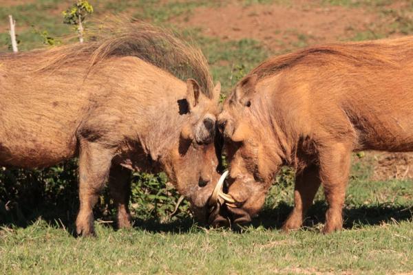 Big 7 Safaris Warthogs