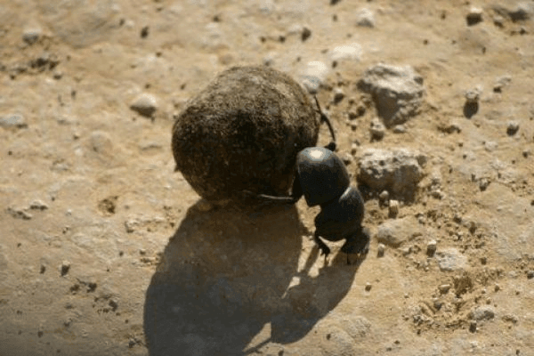 Unique flightless Dung beetle at work, Addo Elephant National Park, South Africa