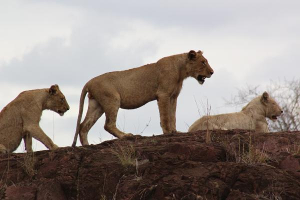 Lions with Alan Tours