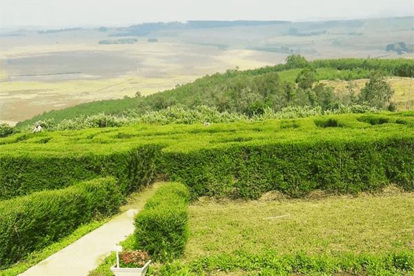 Tea Garden Maze