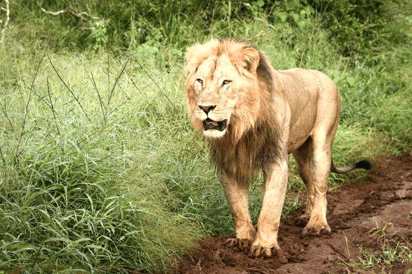 Lions at Mavela Game Lodge