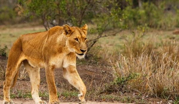 Lion with Apex Tours & Safaris