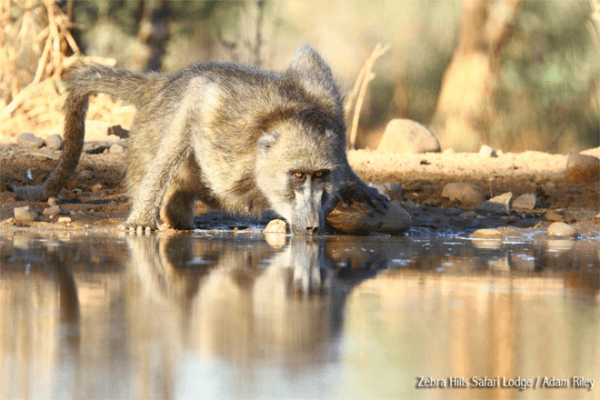 Baboon drinking water at Zebra Hills Safari Lodge