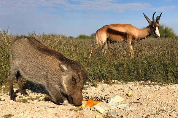 Warthog & Antelope