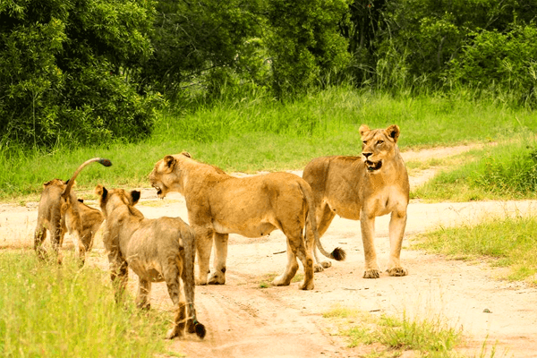 Lions at Elephant Herd Tours and Safaris