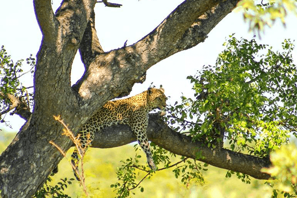 Leopard at Elephant Herd Tours and Safaris
