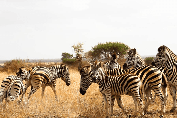 Zebras at Elephant Herd Tours and Safaris