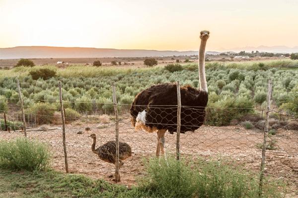 Ostriches at De Denne Guest House